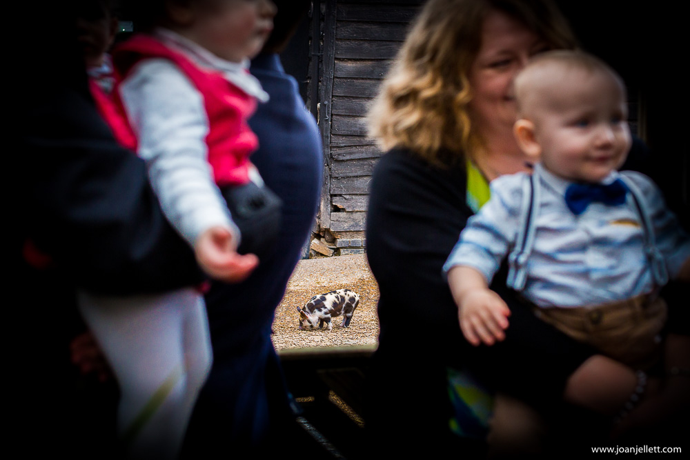 little piglet at south farm wedding photography